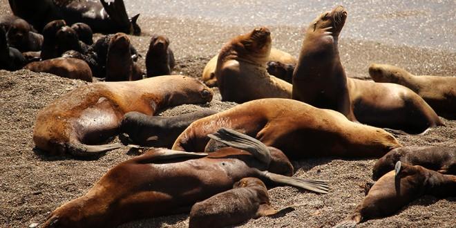 lions de mer peninsula de valdes