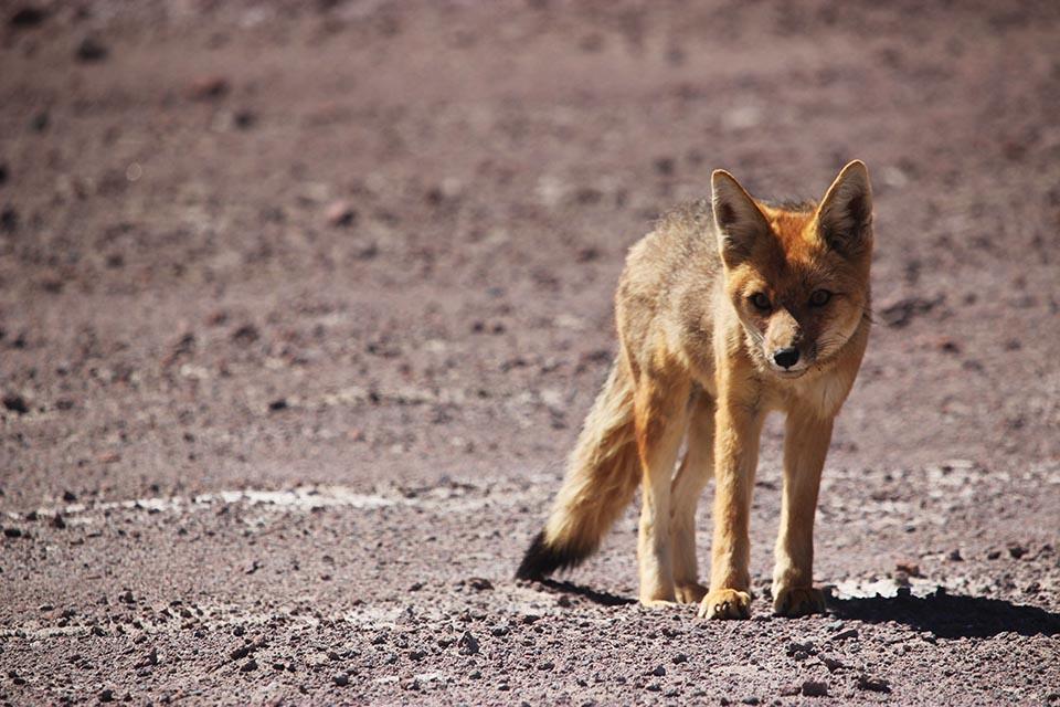 renard, bolivia