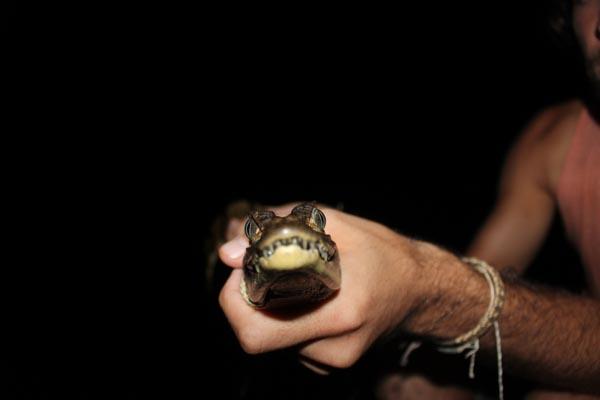 amazonie-caiman