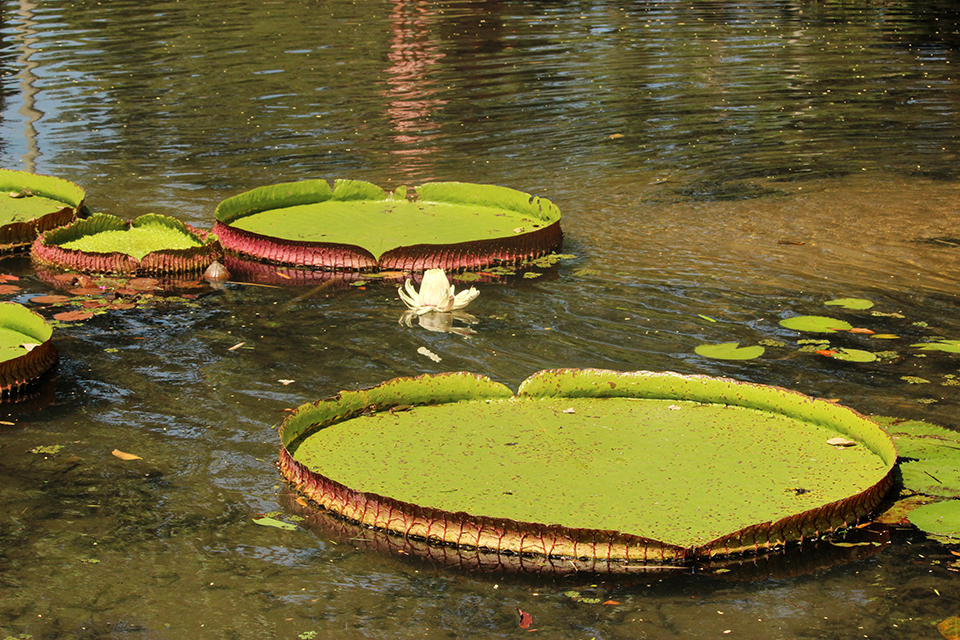 rio-jardin-botanique-nenuphar