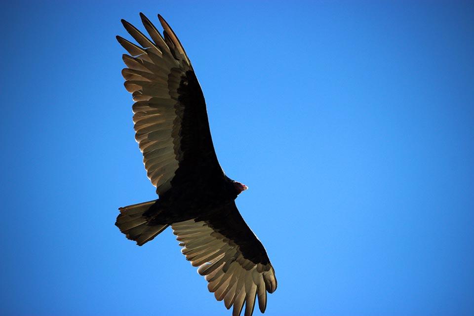 condor-andes