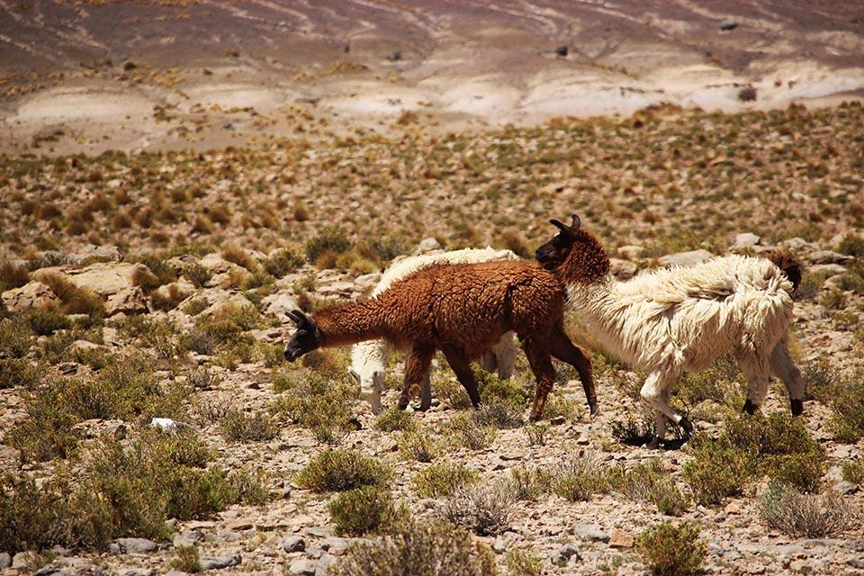 lama,bolivie