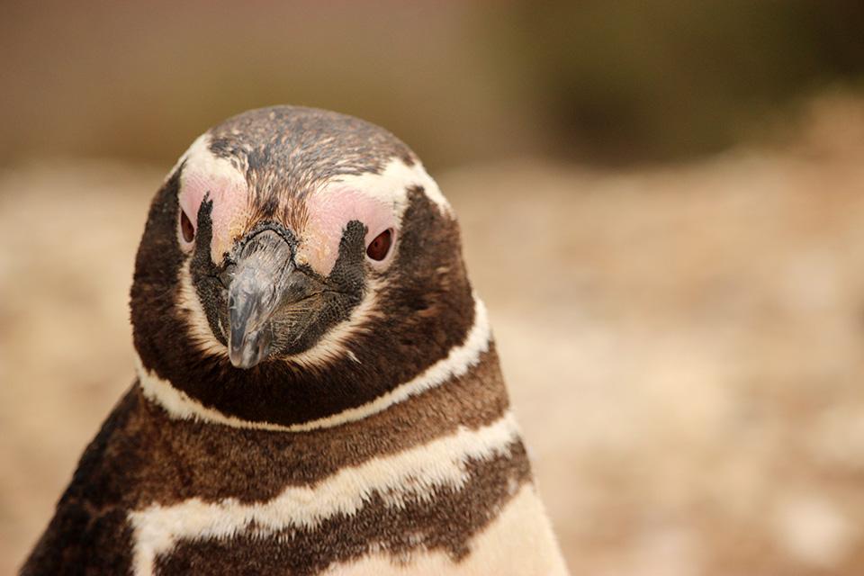 pingouins peninsule valdes