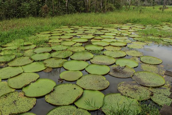 nenuphar-bresil-amazonie