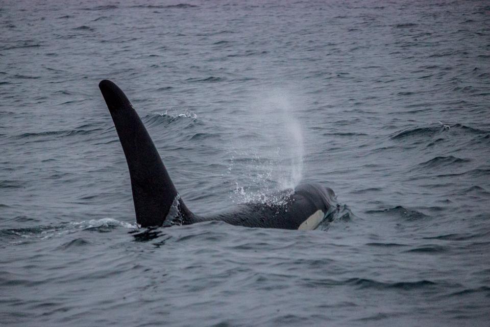 observation-orques-tromso