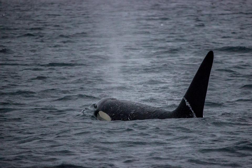 Observer les orques autrement à Tromso