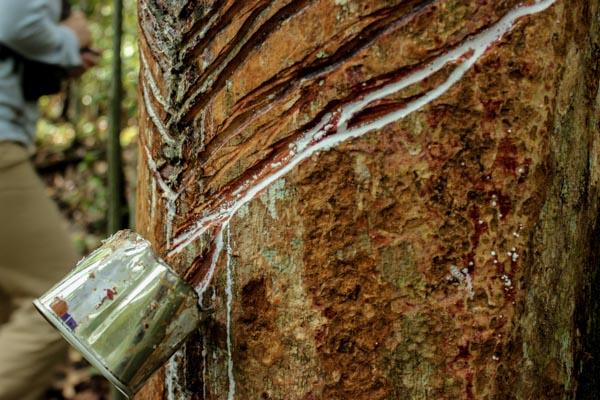 amazonie-caoutchouc