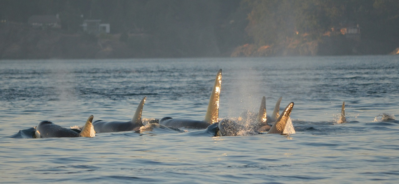 Projet : Préservons les orques de Norvège