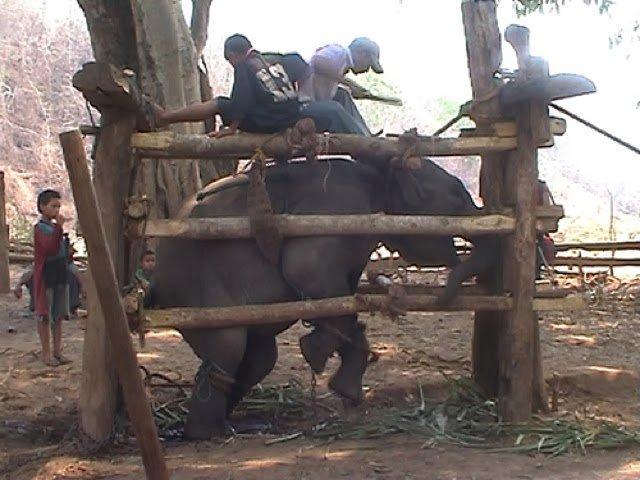 cage-elephant-phajaan