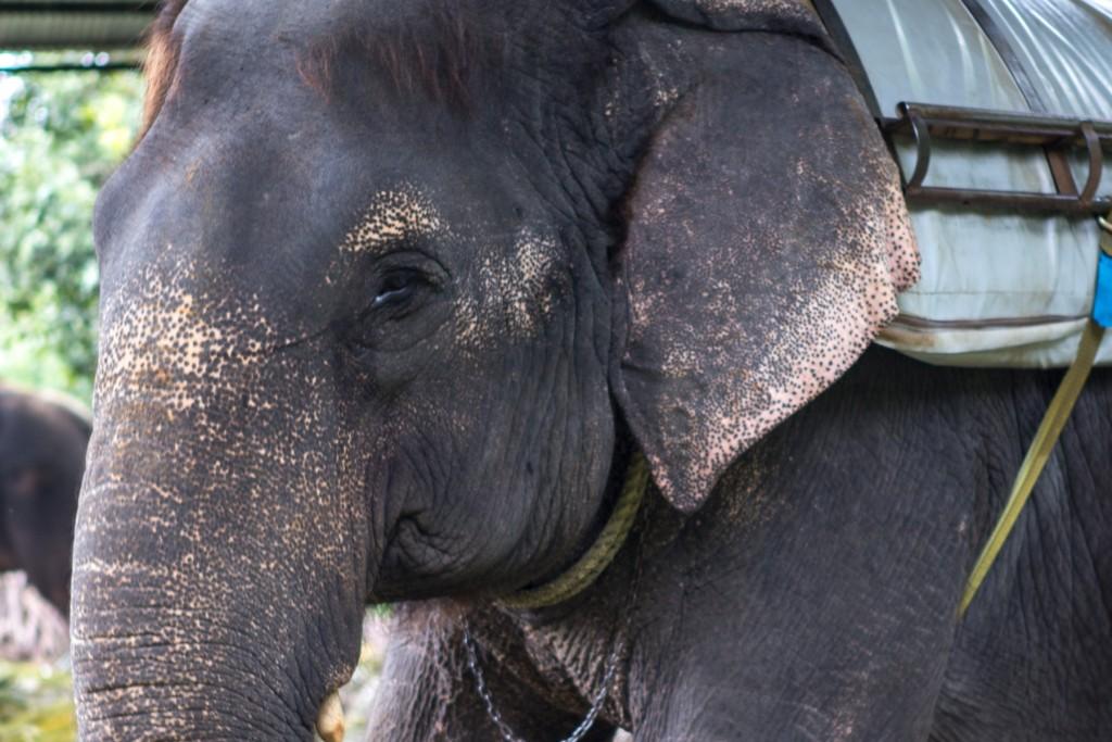 inde-elephant-phajaan
