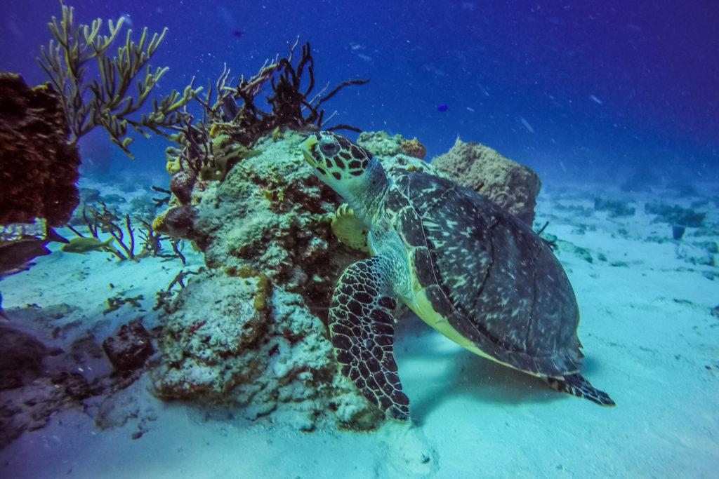 plongée-sous-marine-cozumel-tortues