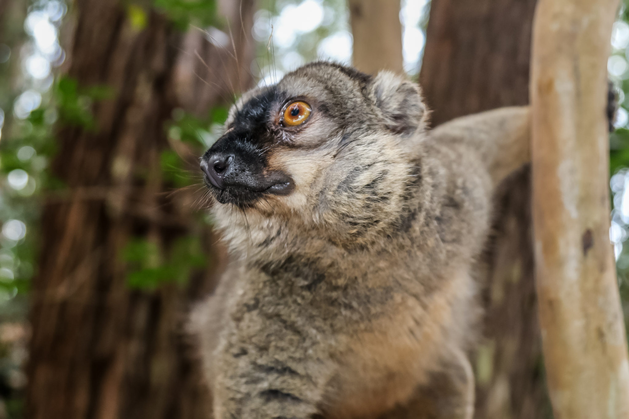 lemurien-madagascar-voyage