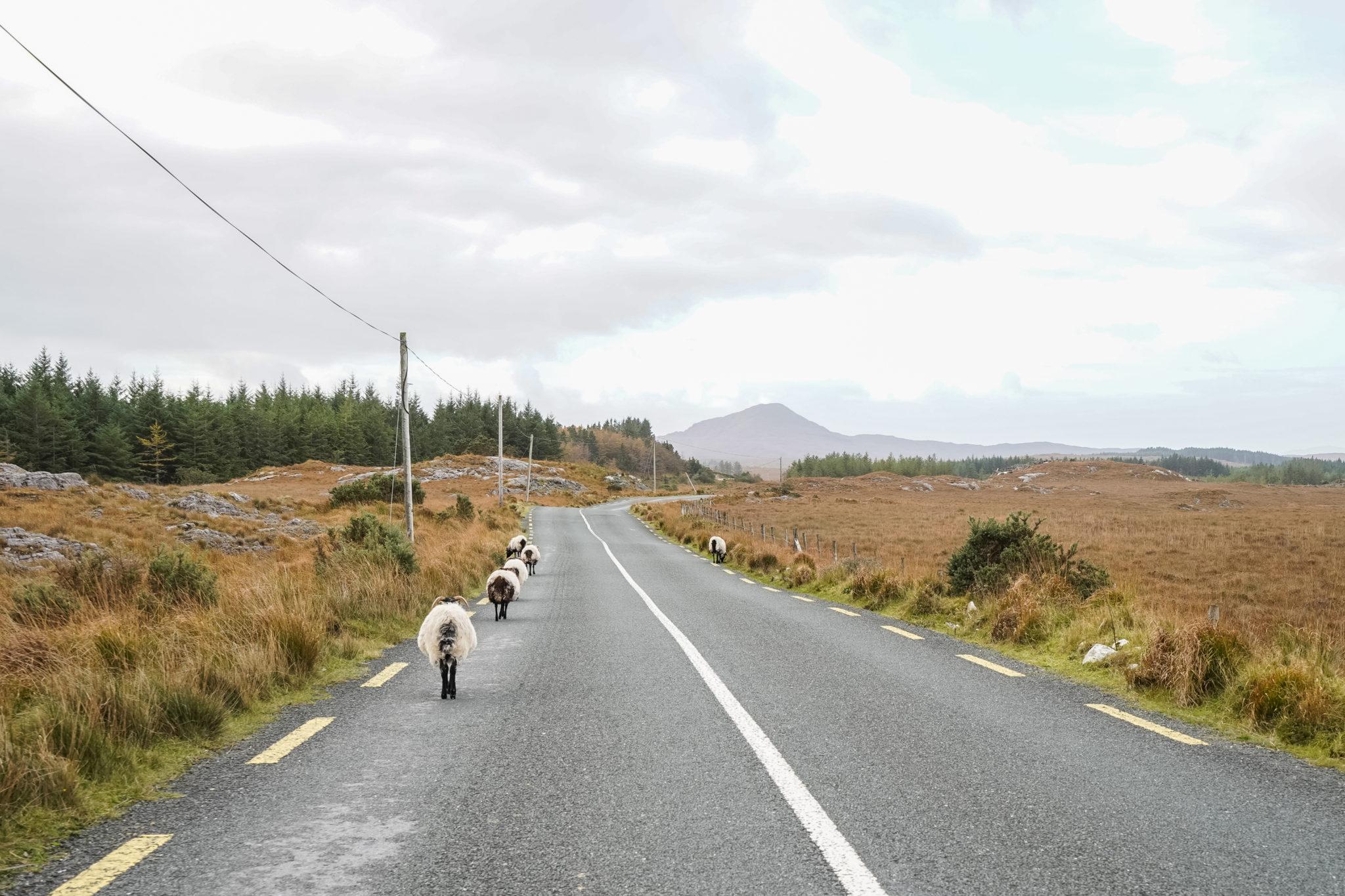 connemara-irlande-mouton-road-trip-blacksheep