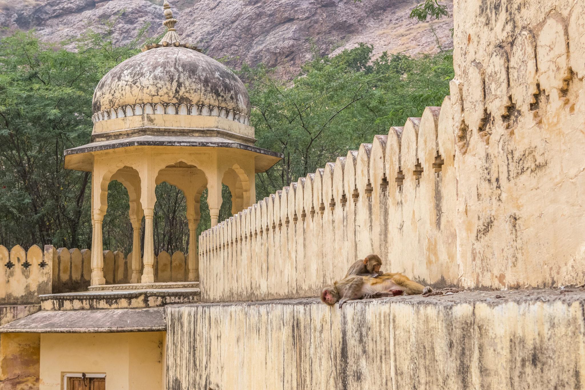 Royal-Gaitor-inde-visite-Jaipur-singe