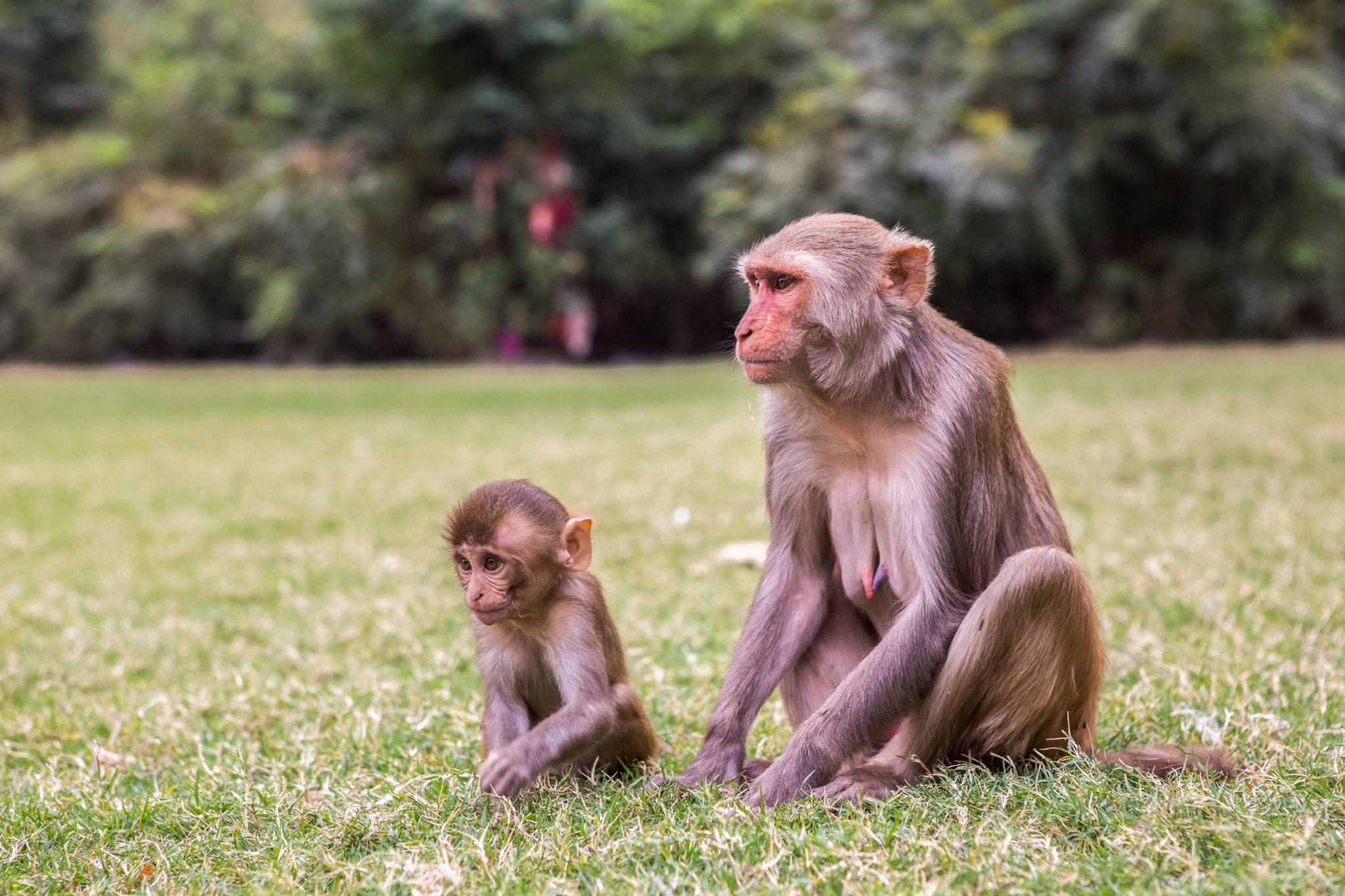 singes-jaipur-temple-visite-inde