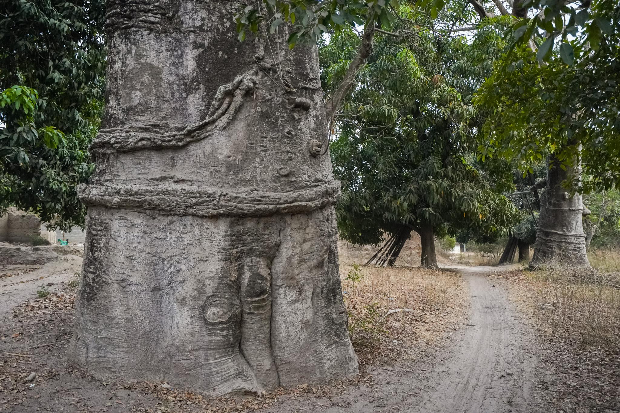 baobab-sénégal-casamance-affiniam