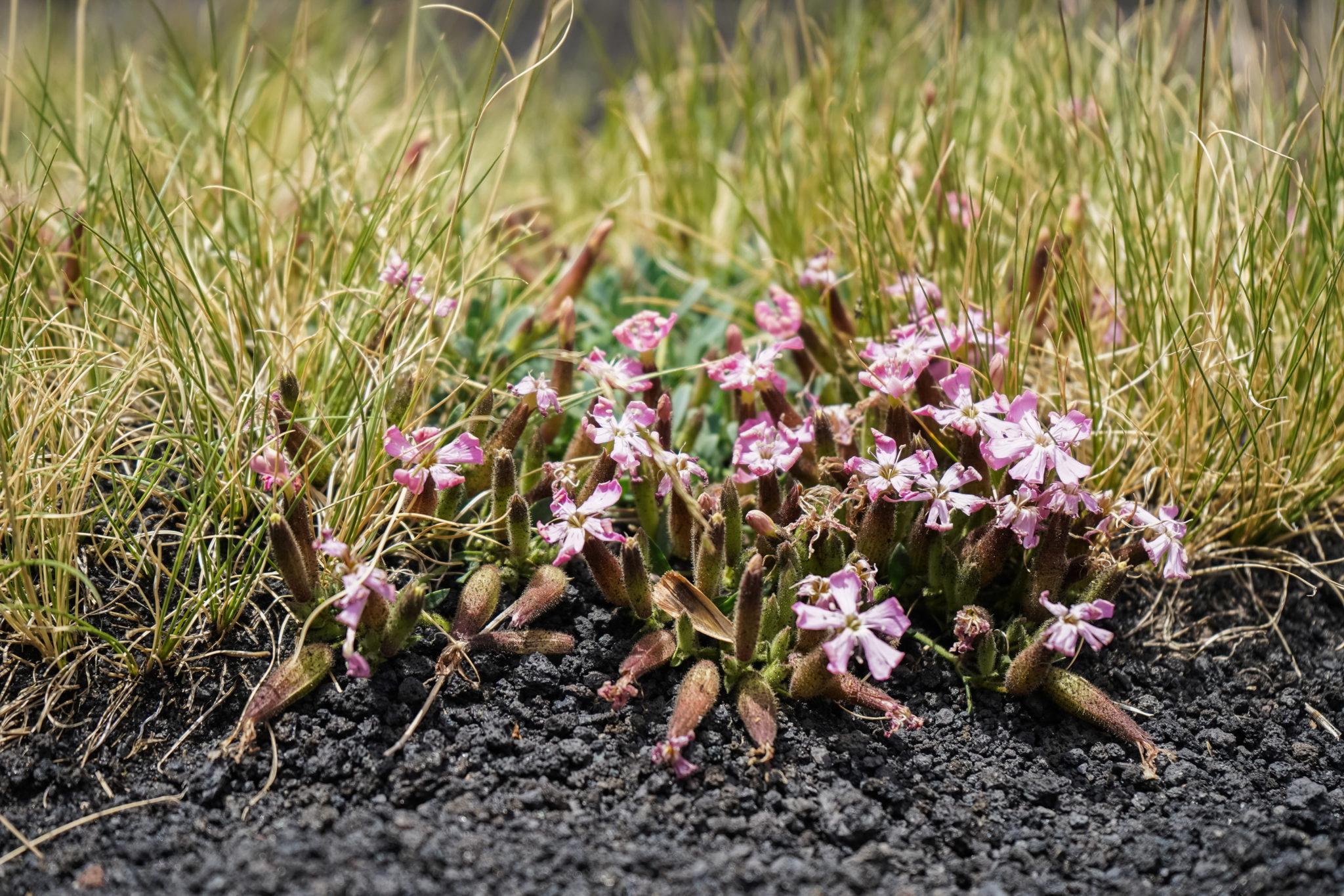 etna-volcan-excursion-sicile-plantes