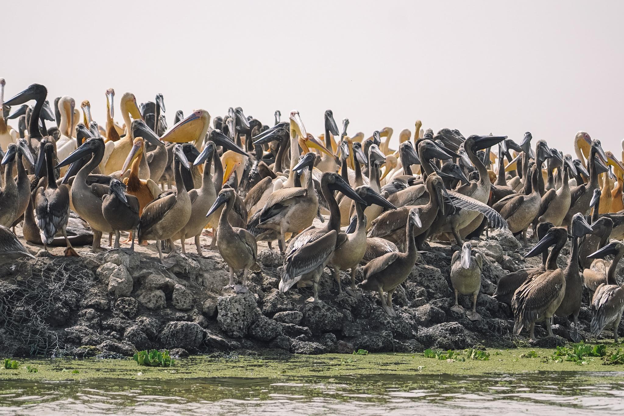 pelicans-parc-djoudj-saint-louis-oiseaux