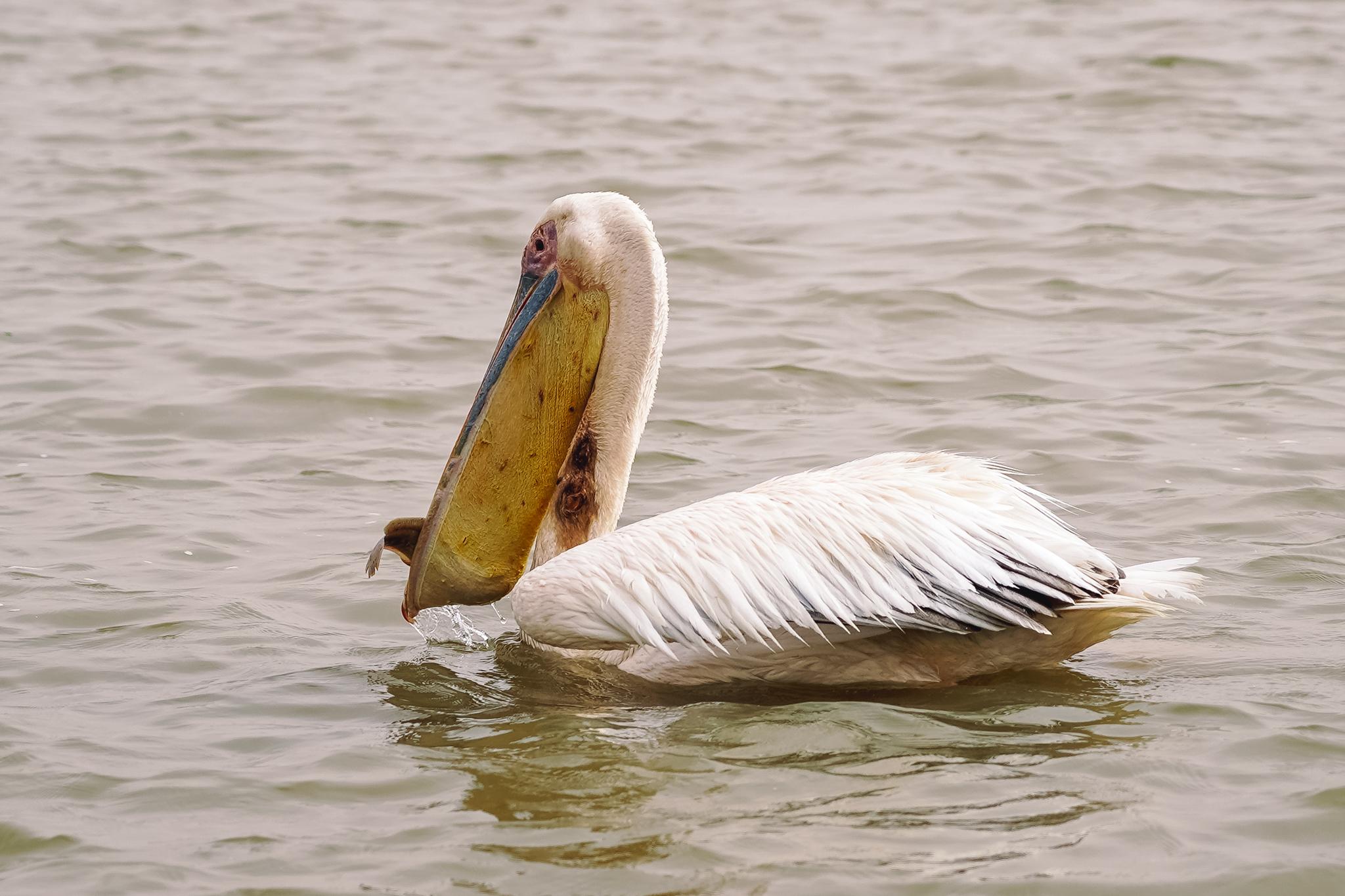 visiter-parc-djoudj-pelicans-saint-louis