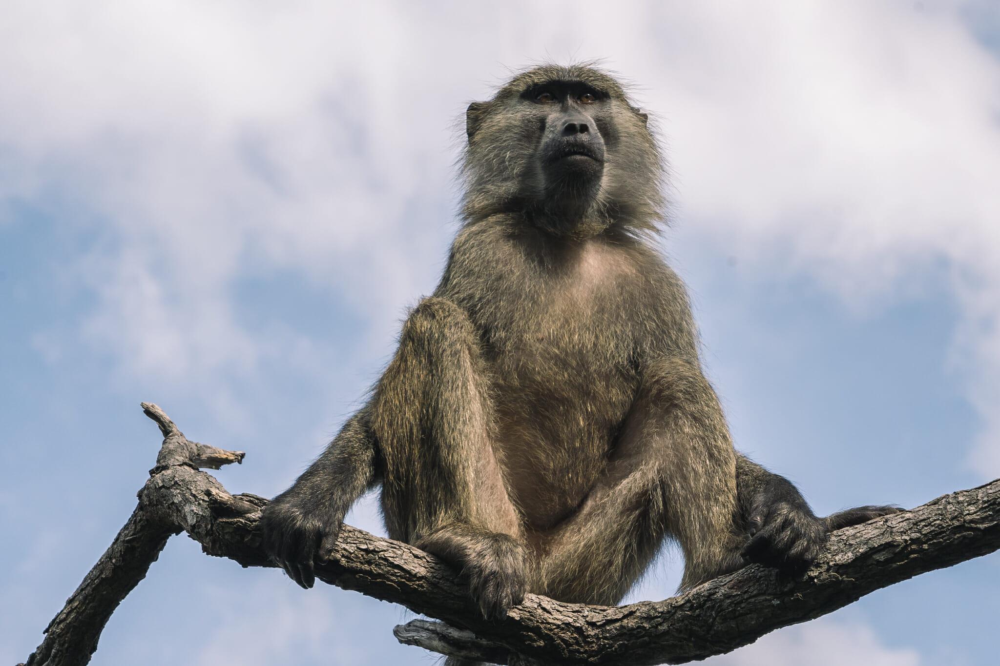 babouins-jane-goodall-tanzanie