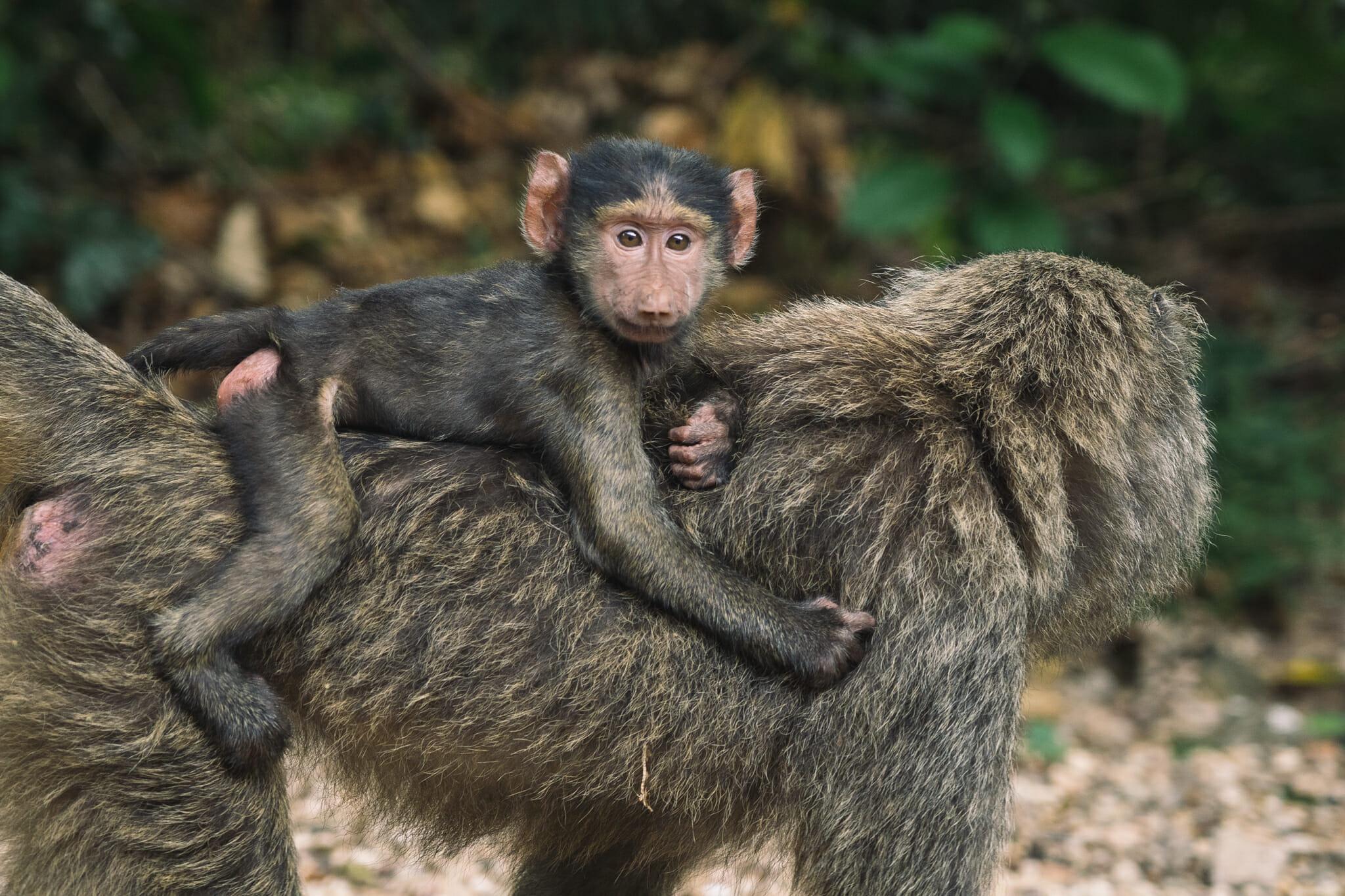 babouins-parc-gombe-tanzanie