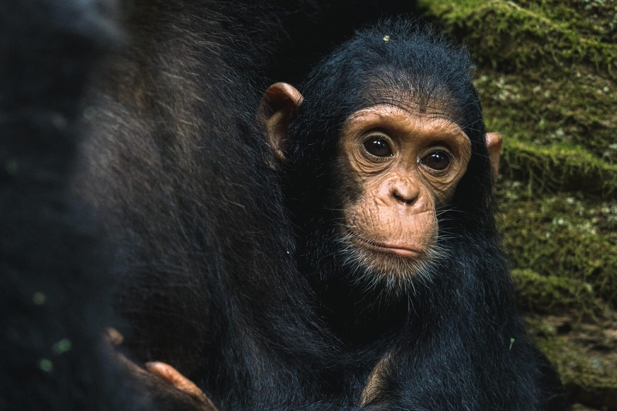 chimpanzé-parc-gombe-tanzanie-visite