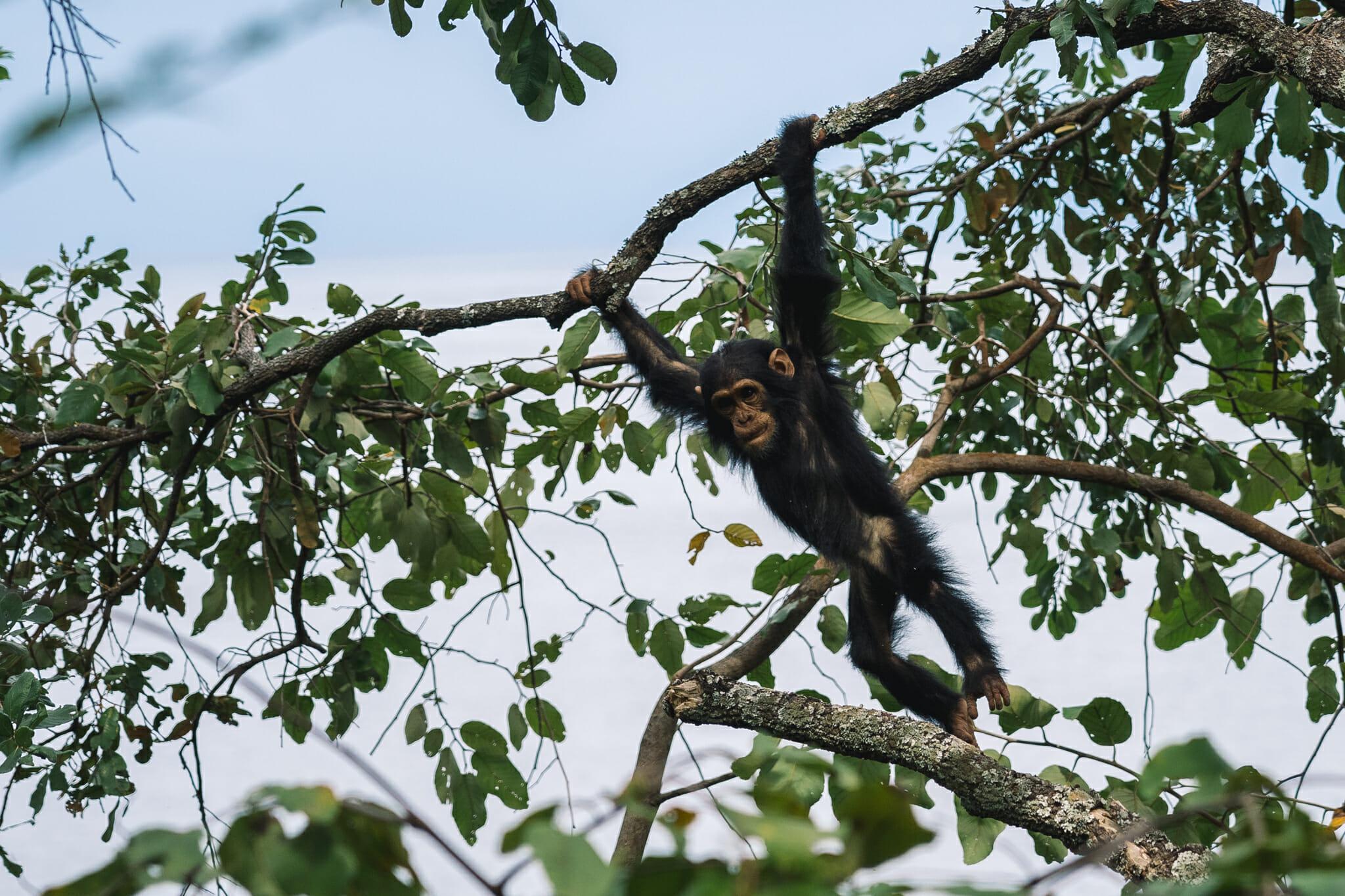 chimpanzé-parc-gombe-visite