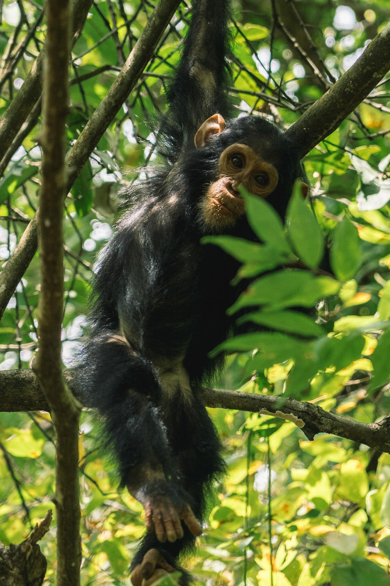 chimpanzé-tanzanie-voyage