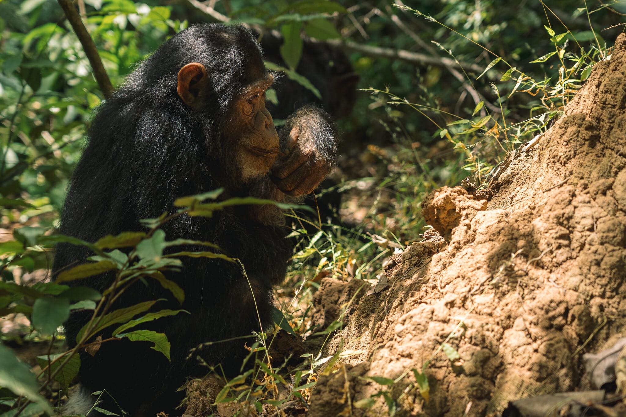 parc-gombe-chimpanzé-tanzanie