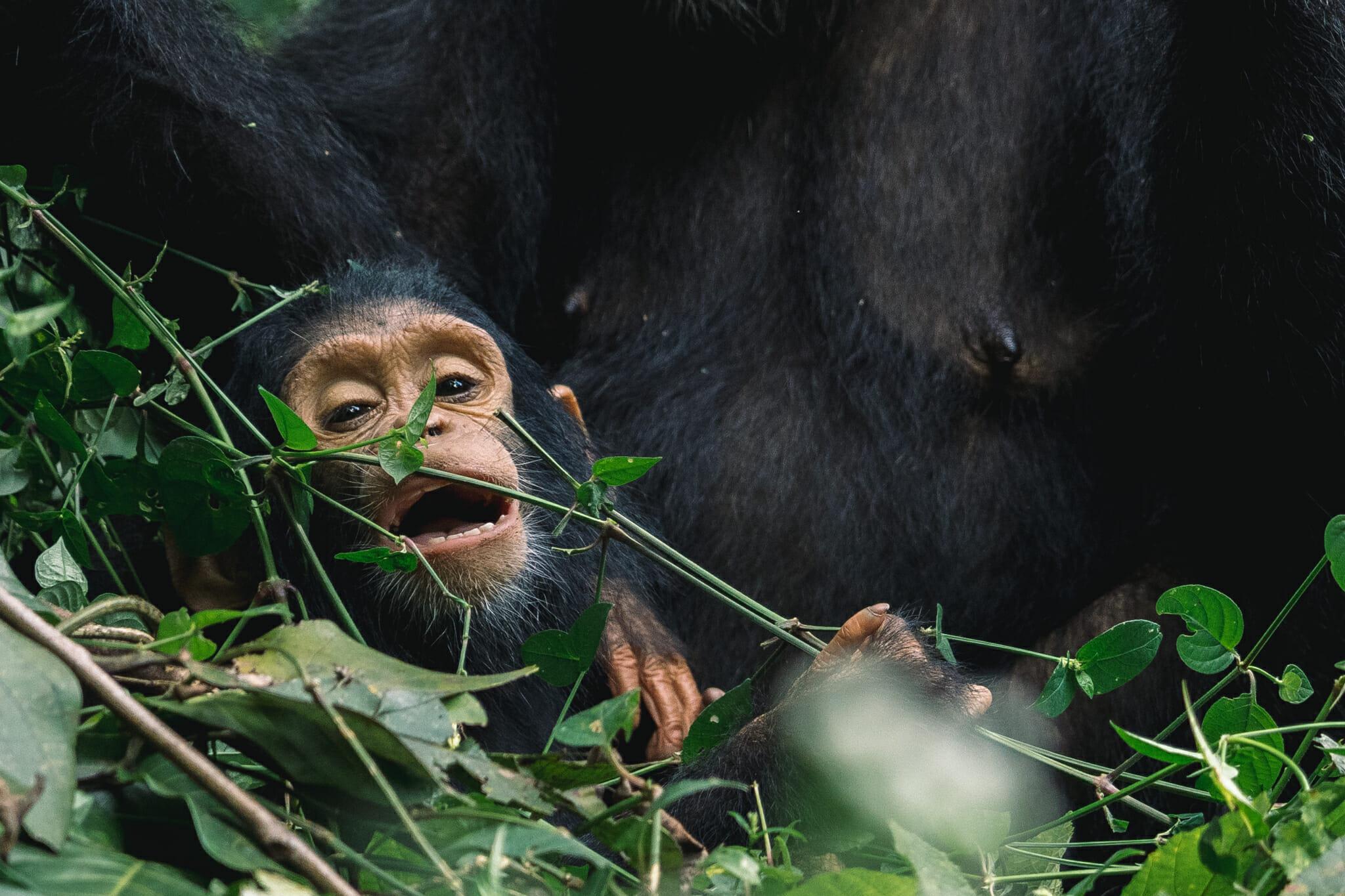 parc-gombe-tanzanie-jane-goodall-chimpanzé