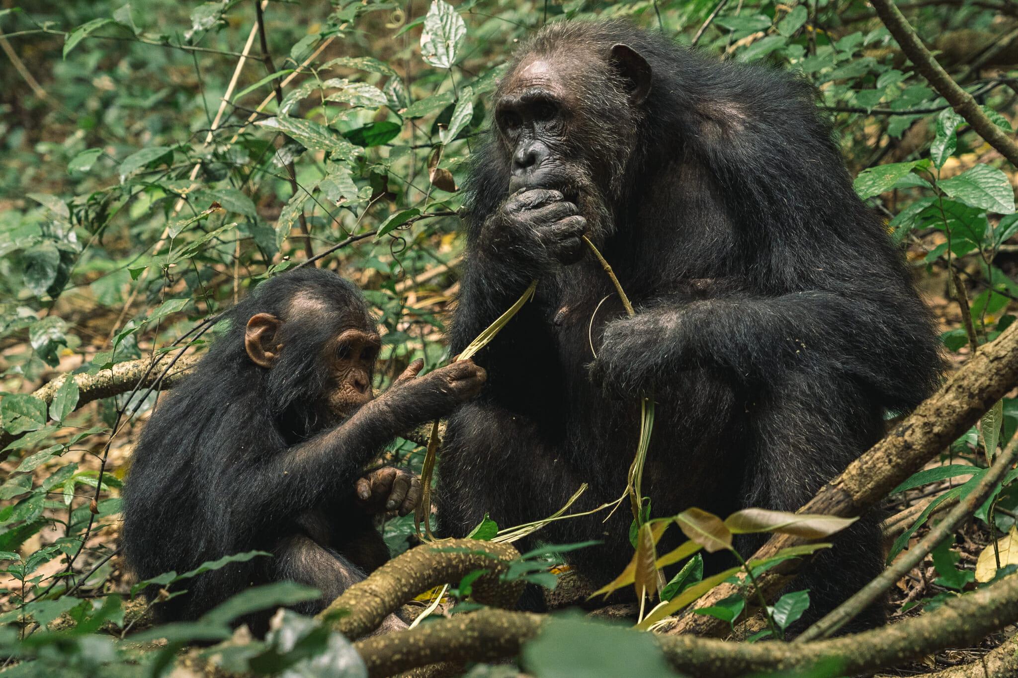 parc-gombe-visite-tanzanie-chimpanzé