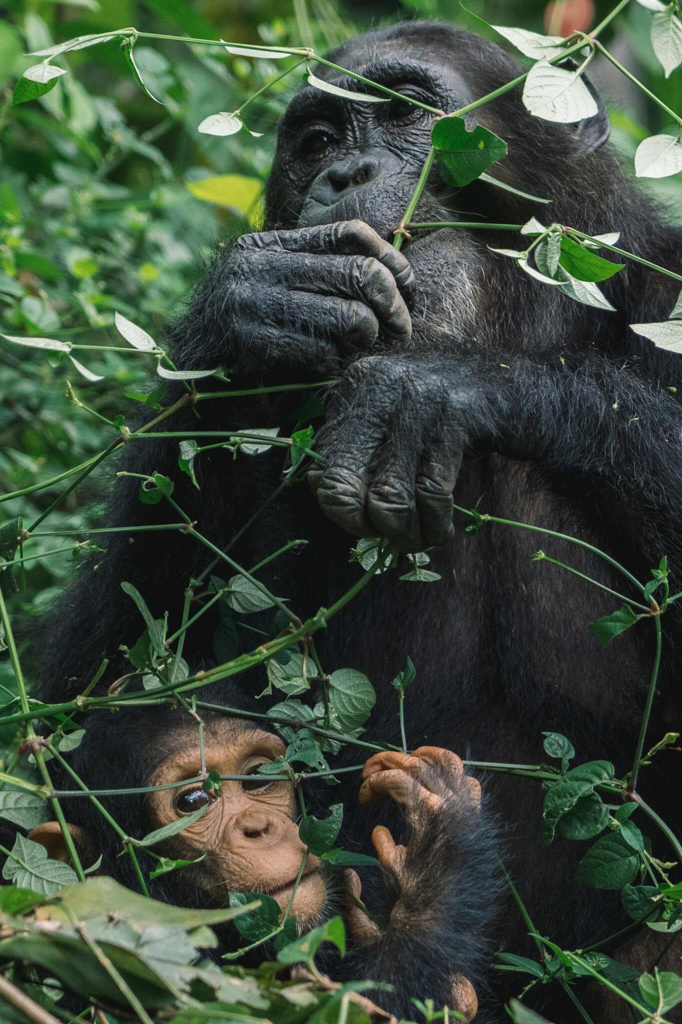 visite-parc-gombe-tanzanie-chimpanzé