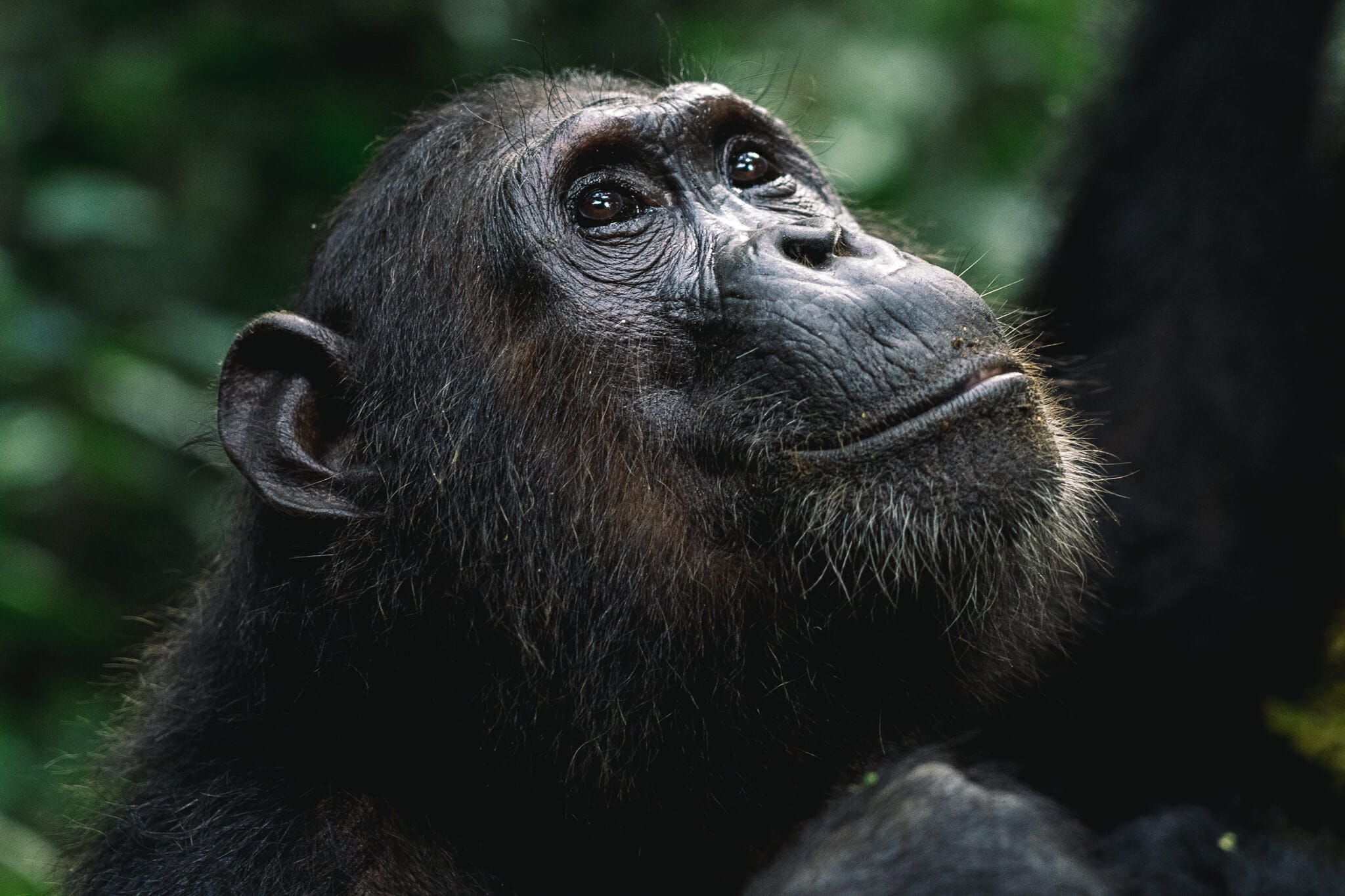 visiter-parc-gombe-tanzanie-chimpanzé