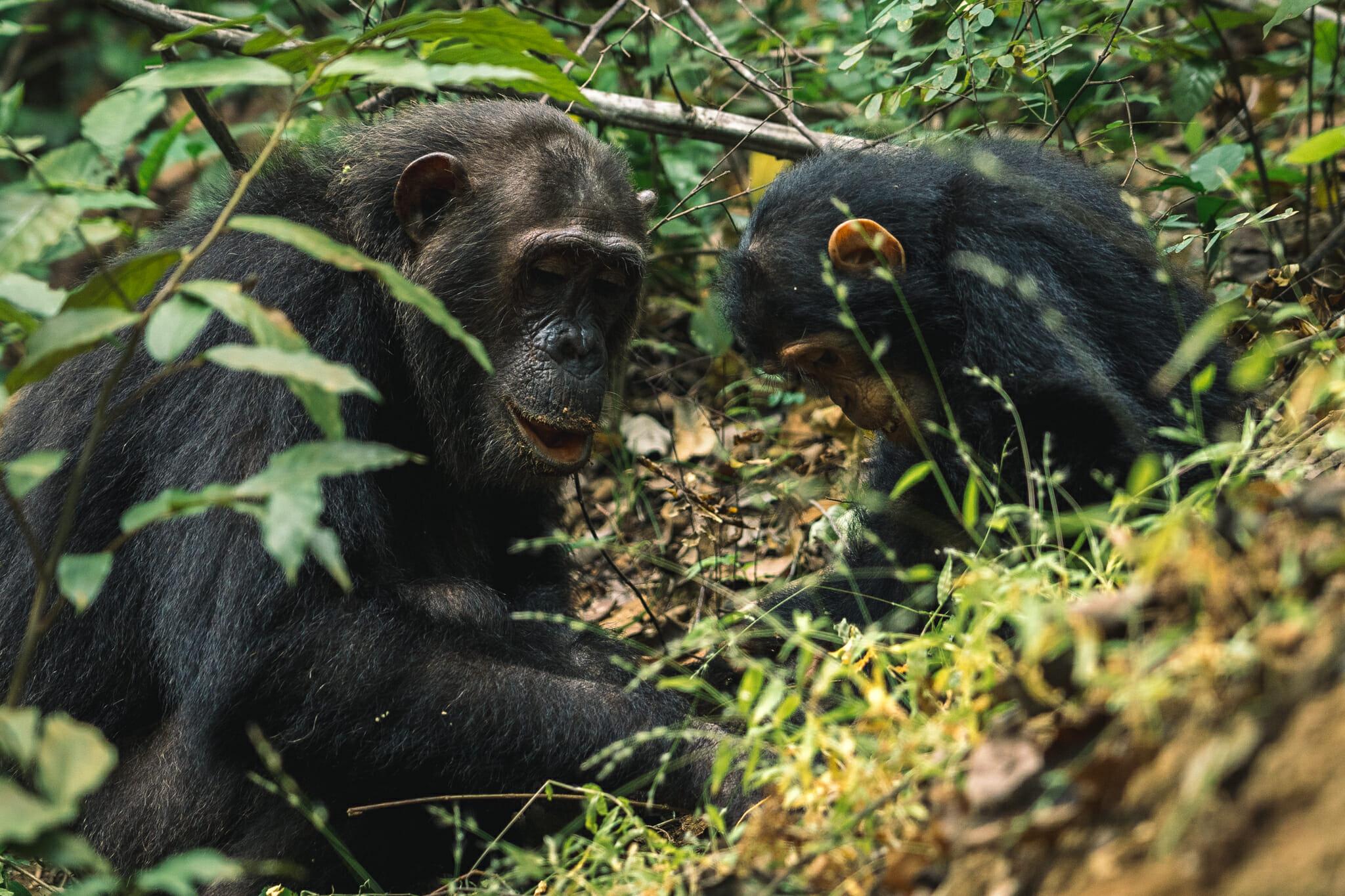 voyage-tanzanie-chimpanzé