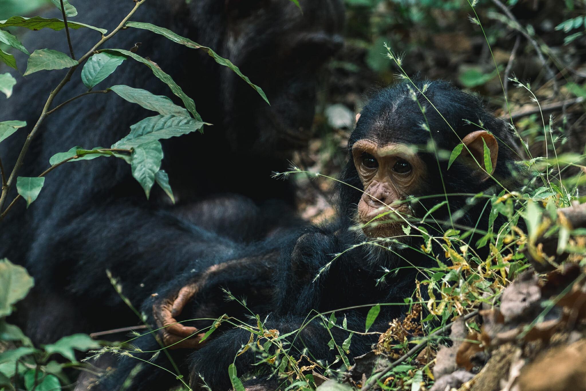 voyager-en-tanzanie-chimpanzé