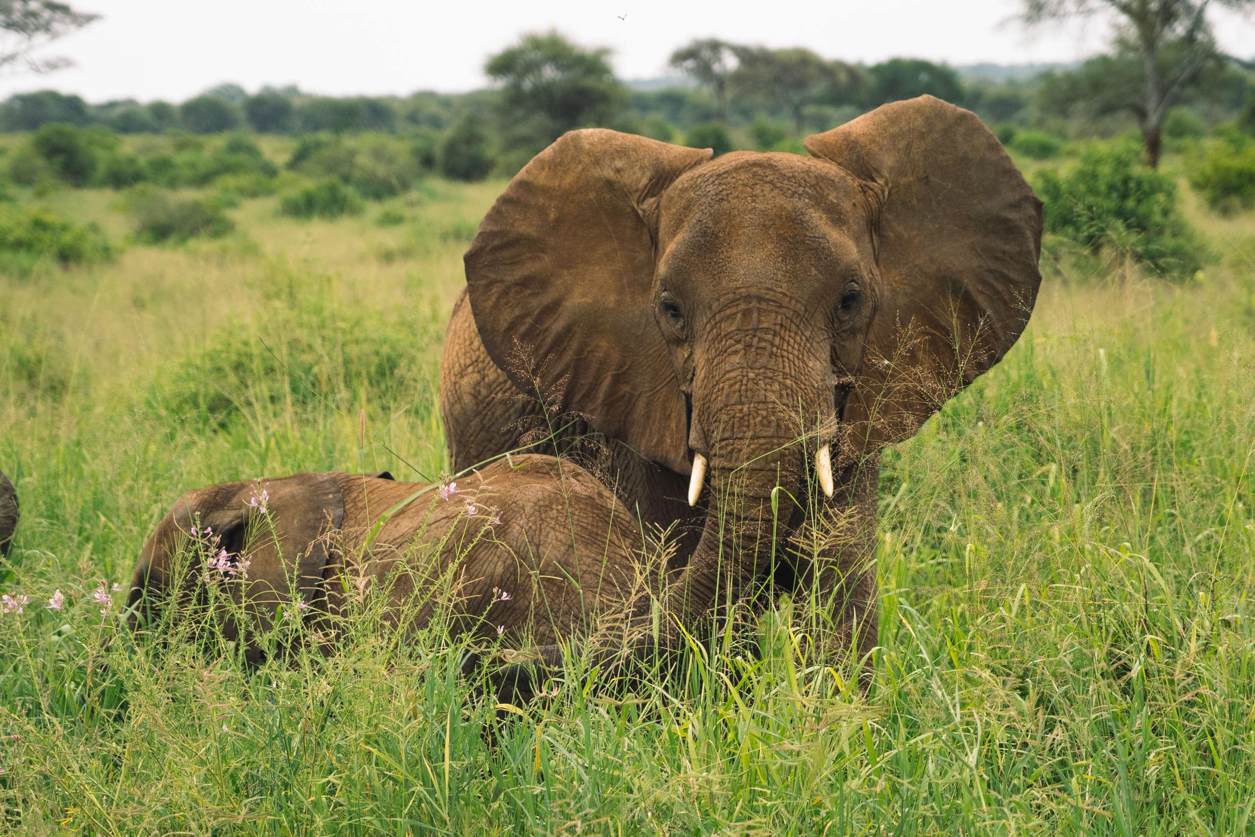 elephant dans le parc national du Tarangire en Tanzanie