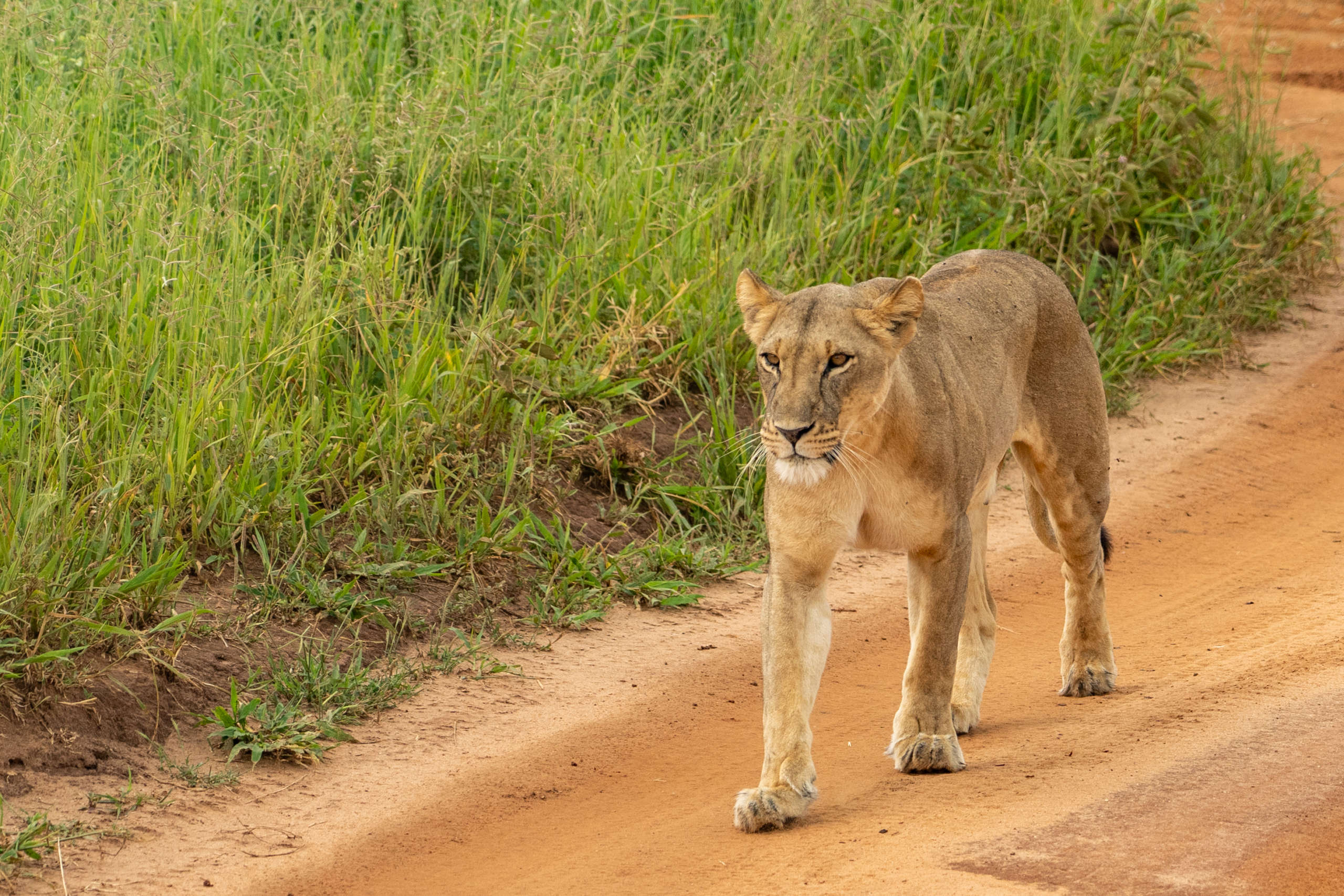 lionne dans le parc national du Tarangire en Tanzanie