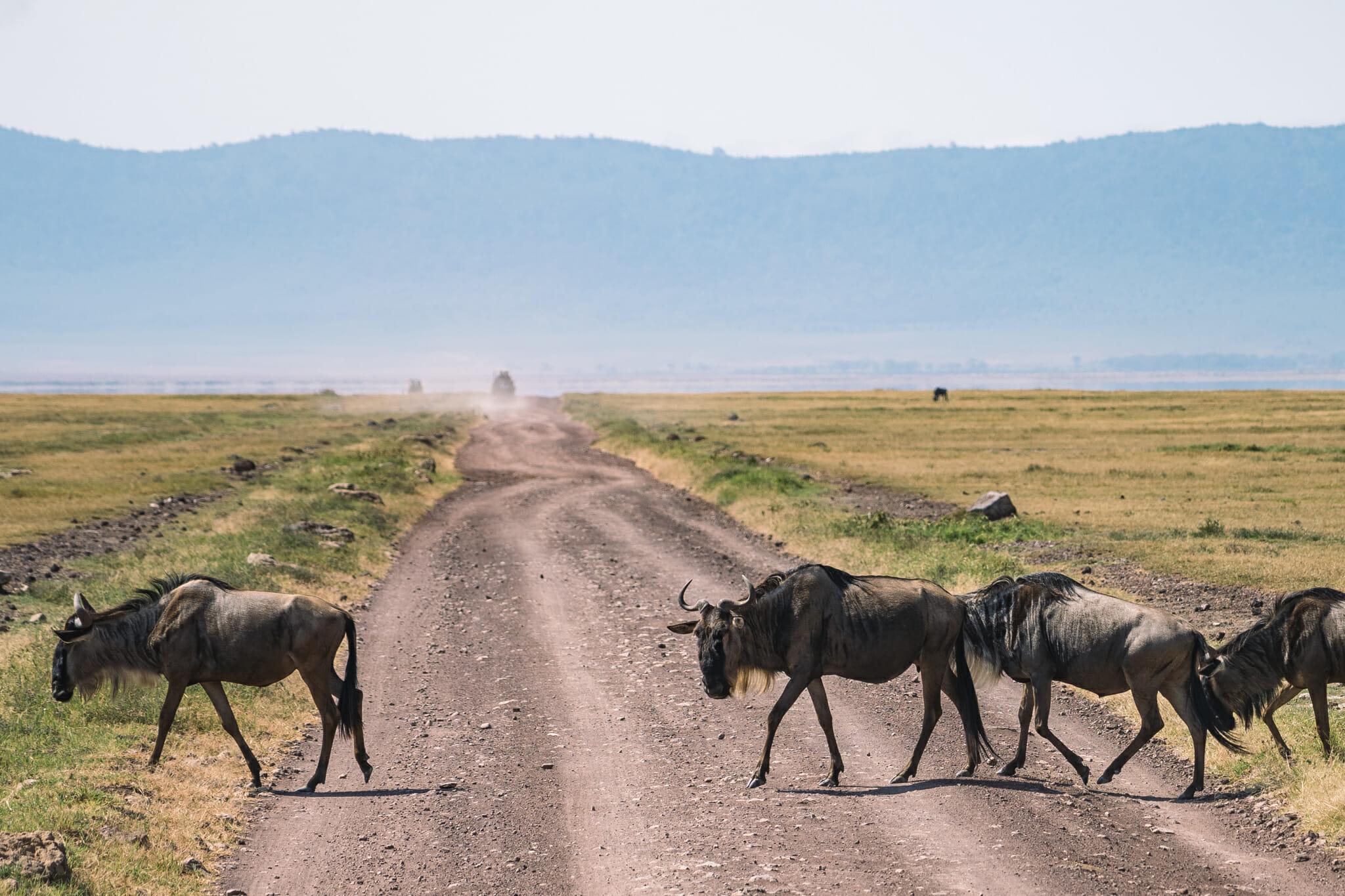 gnou sur la route dans le cratère du ngorongoro