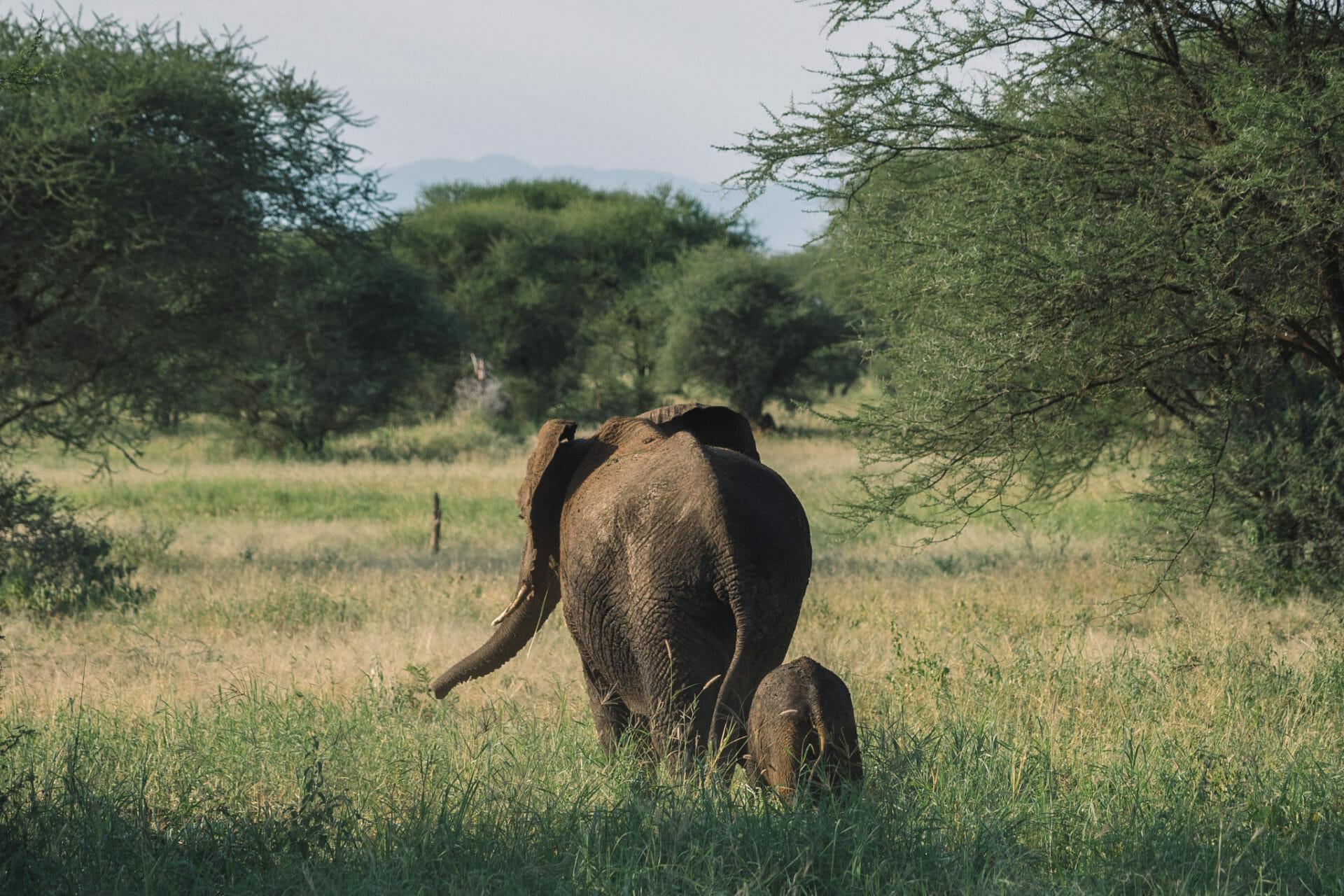 safari-tarangire-tanzanie