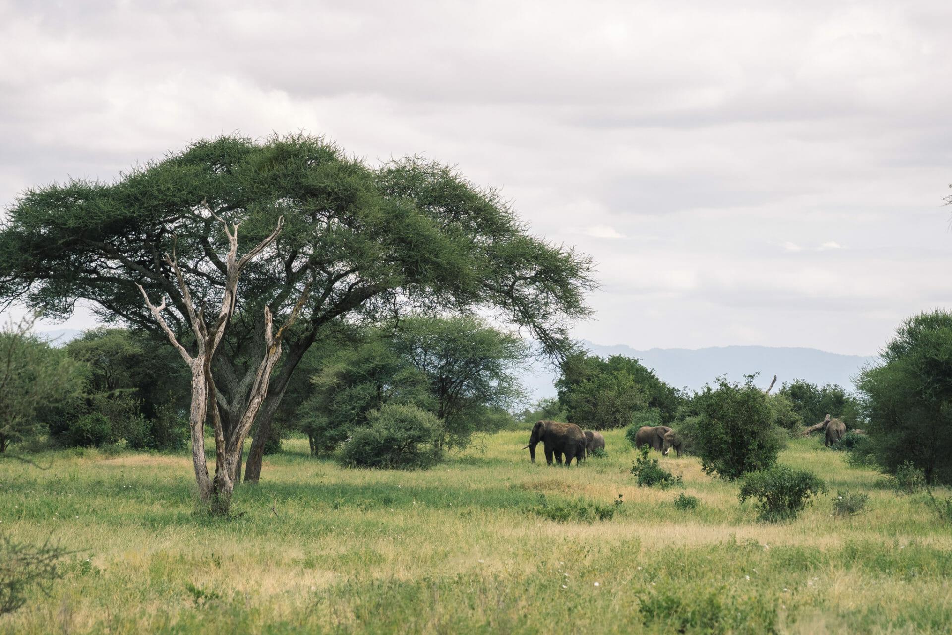 tanzanie-parc-tarangire-elephants