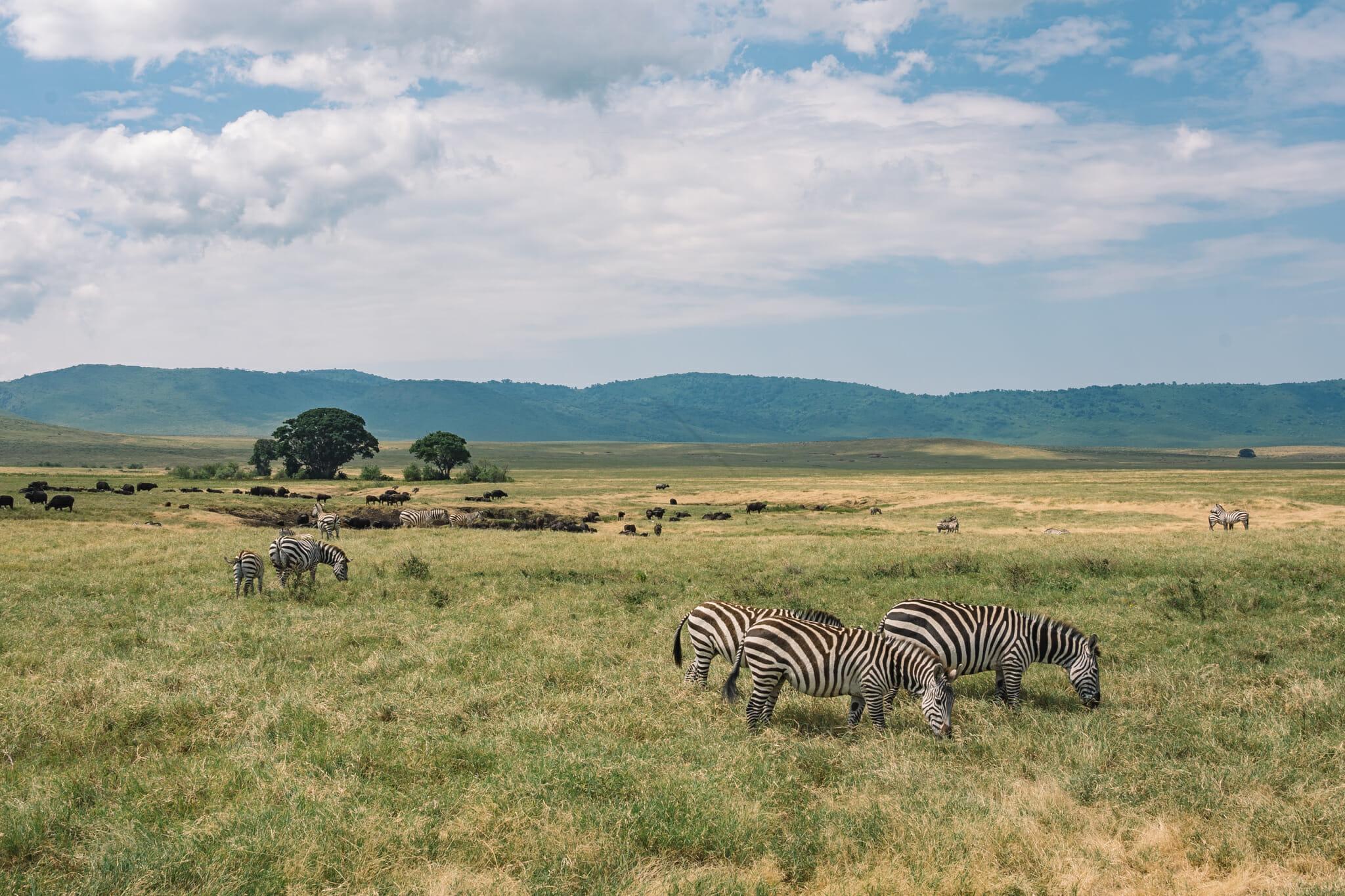 zebres dans le cratère du Ngorongoro en Tanzanie