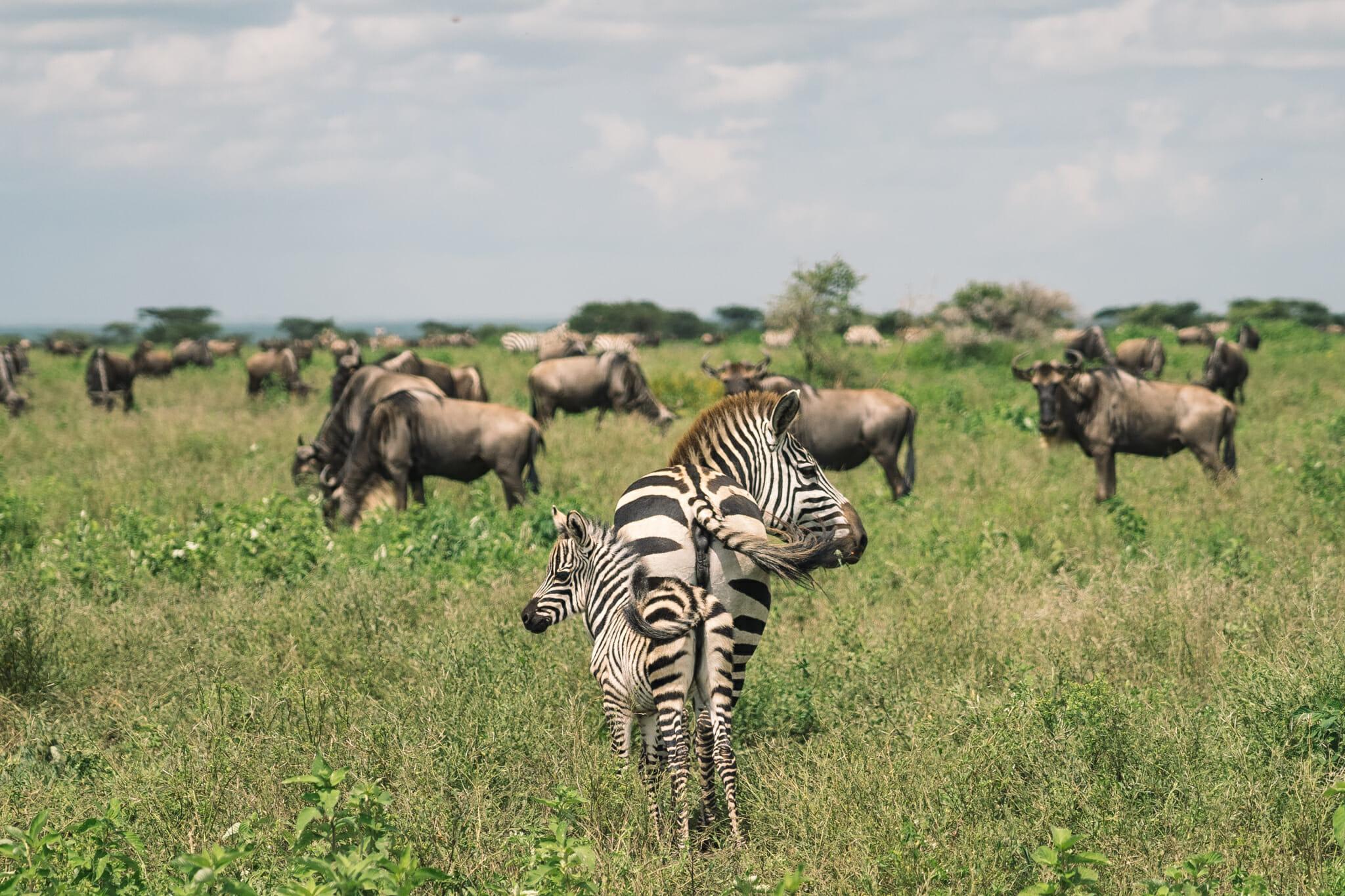 Zèbre et son bébé dans la zone du Ndutu en Tanzanie