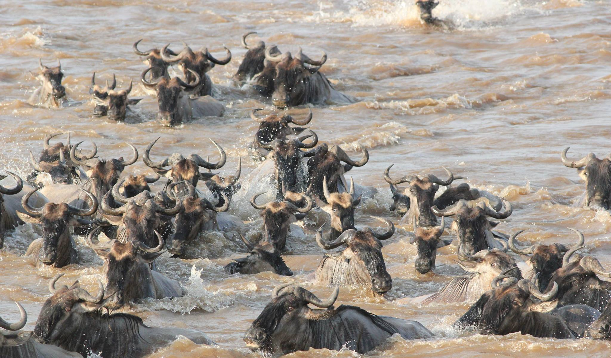 gnous traversant la rivière mara dans le nord du parc du Serengeti en Tanzanie