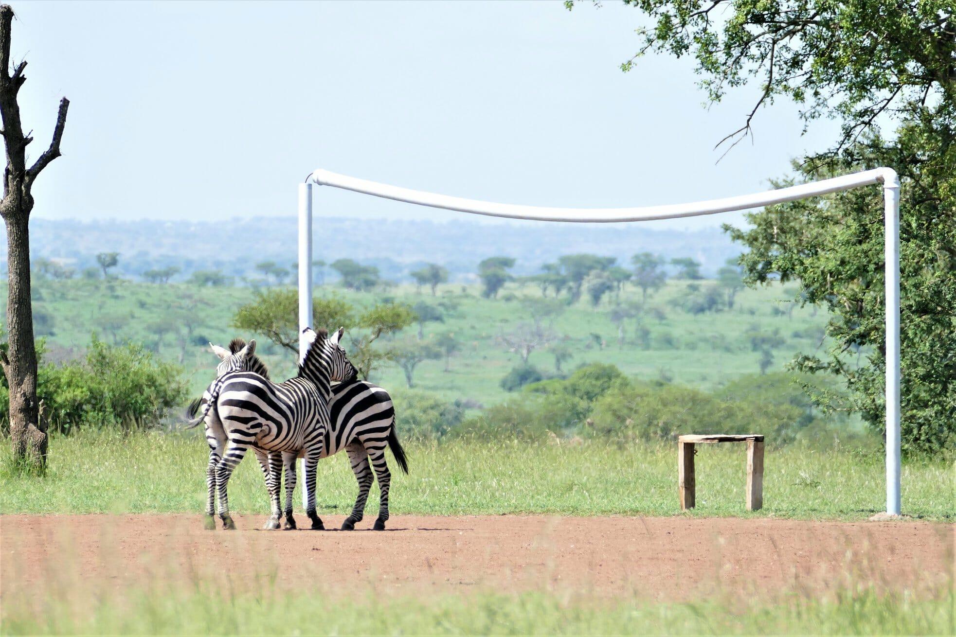 2 zèbres sur un terrain de foot près du parc du serengeti en Tanzanie