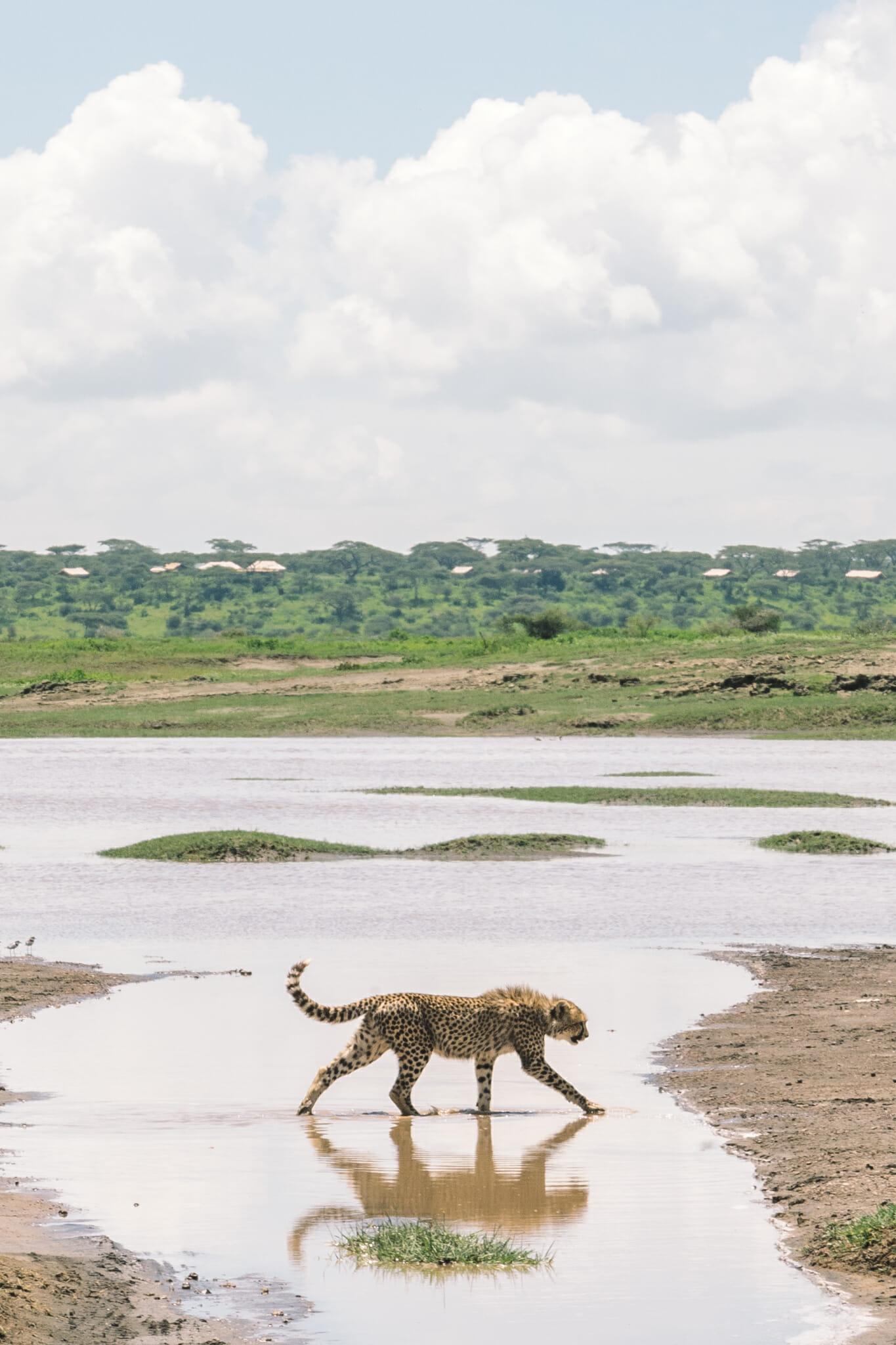 Guépard marchant dans l'eau dans la zone du Ndutu en Tanzanie