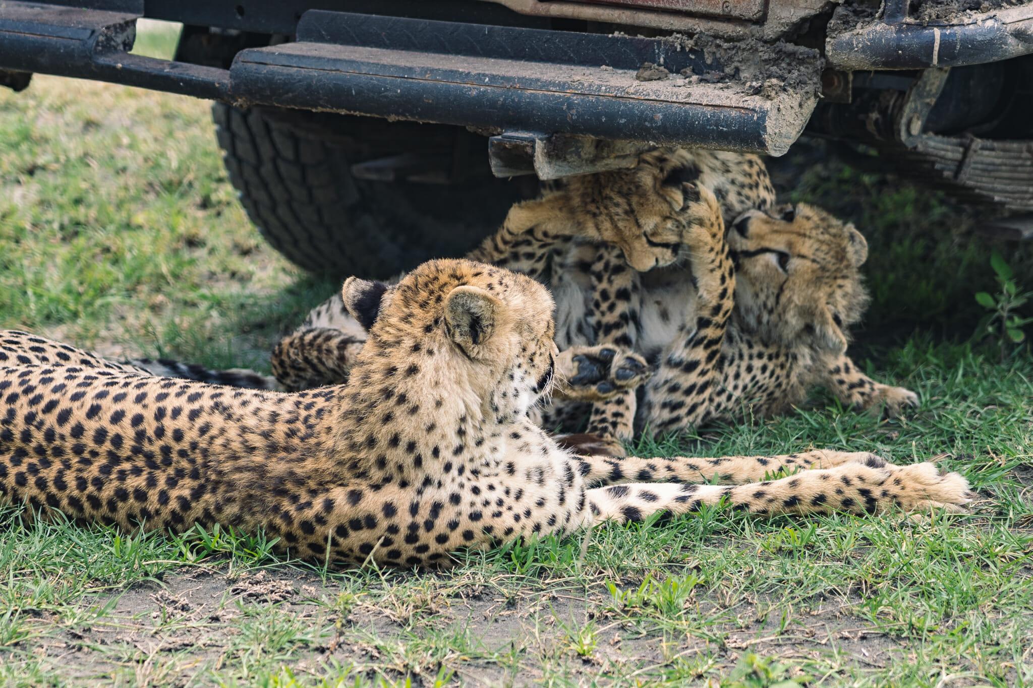 guépard dans la zone du Ndutu, en Tanzanie