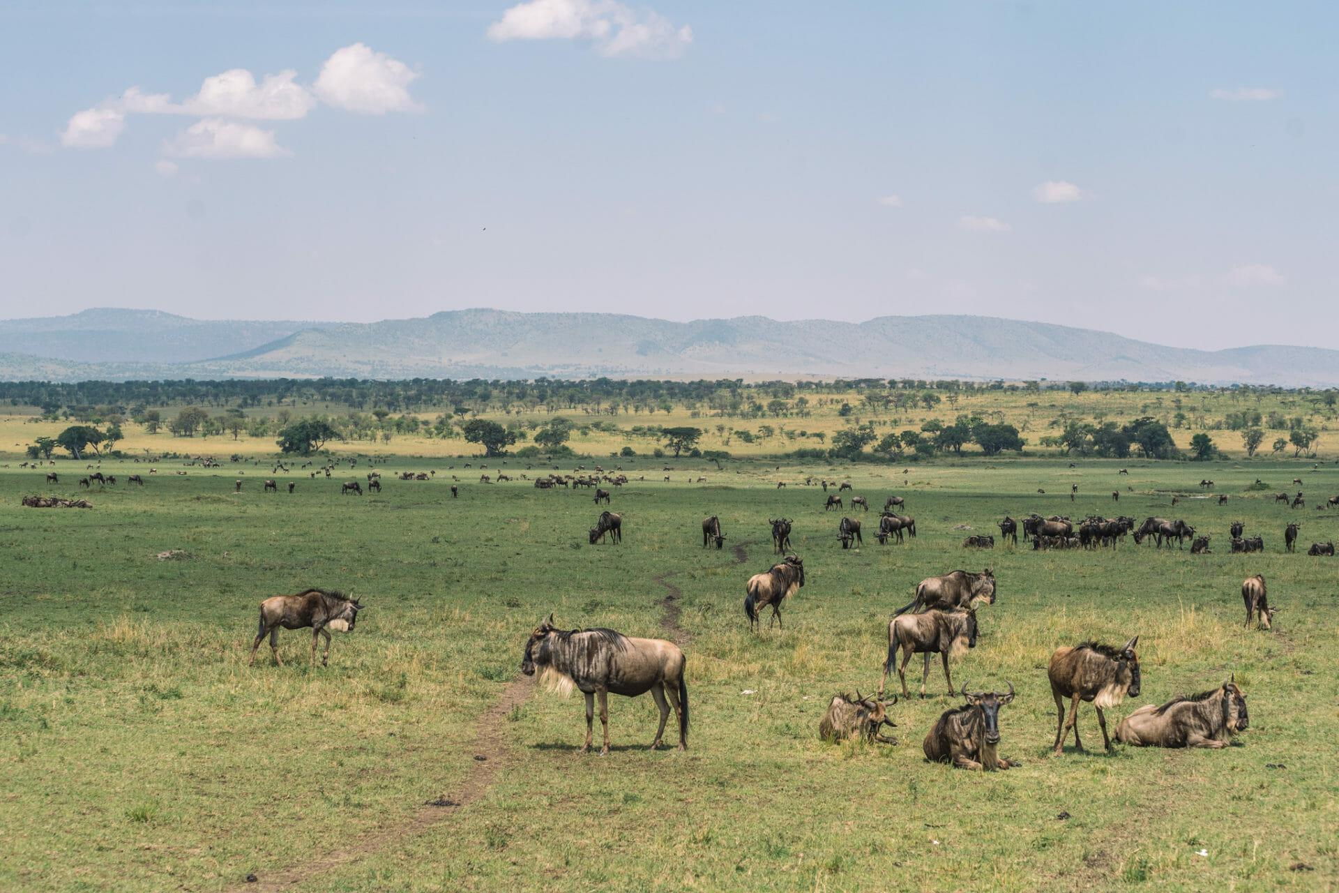 migration-gnous-seregenti-tanzanie