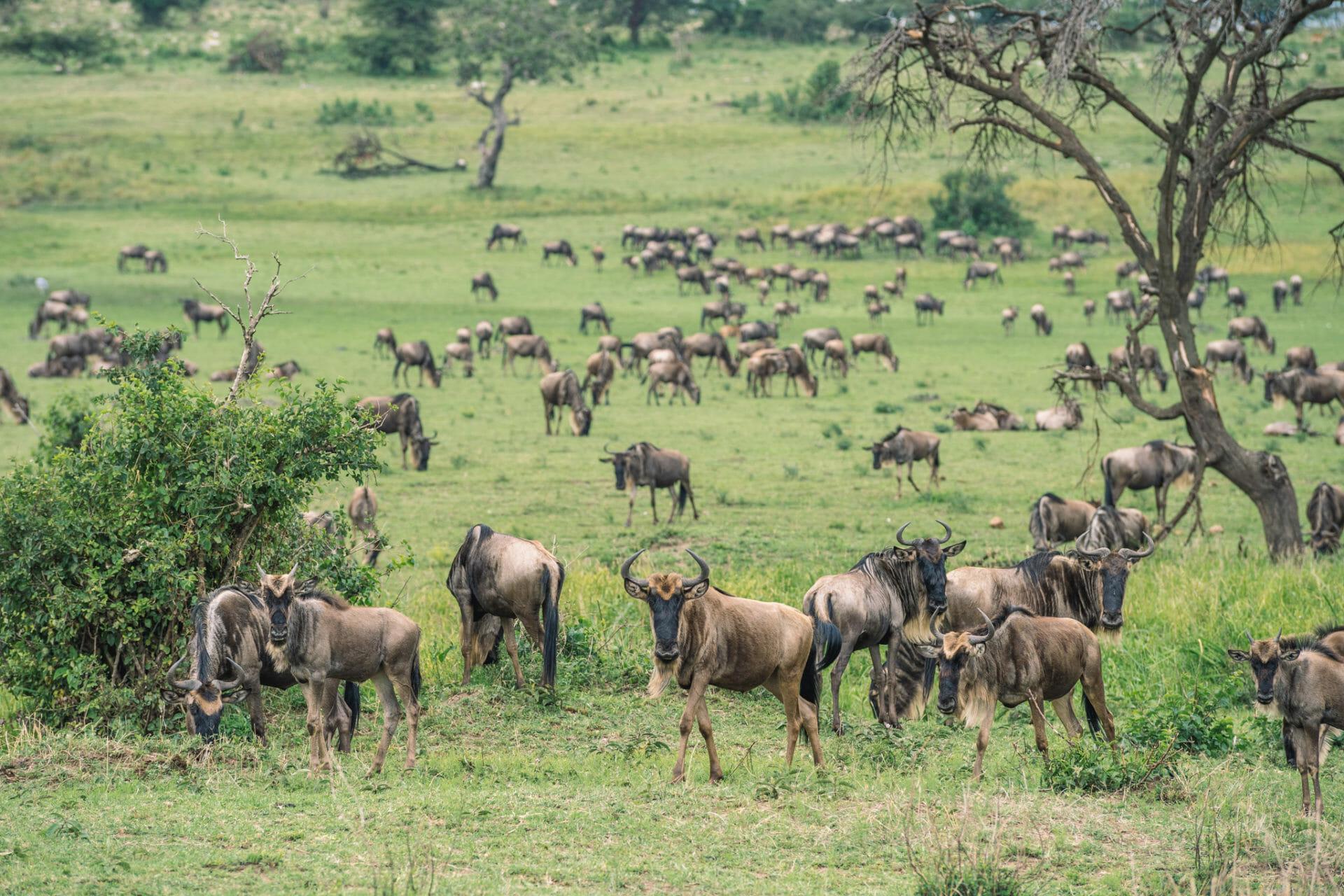 serengeti-migration-gnous-tanzanie