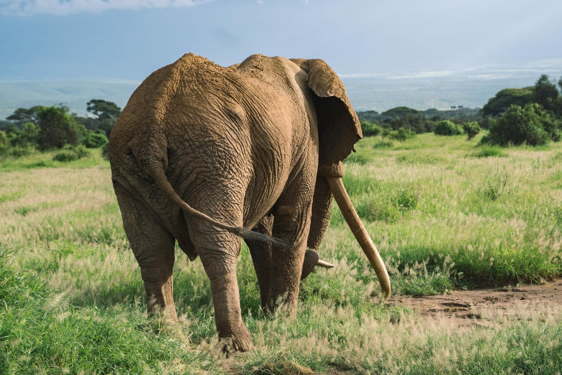 kenya-voyage-tim-elephant-amboseli