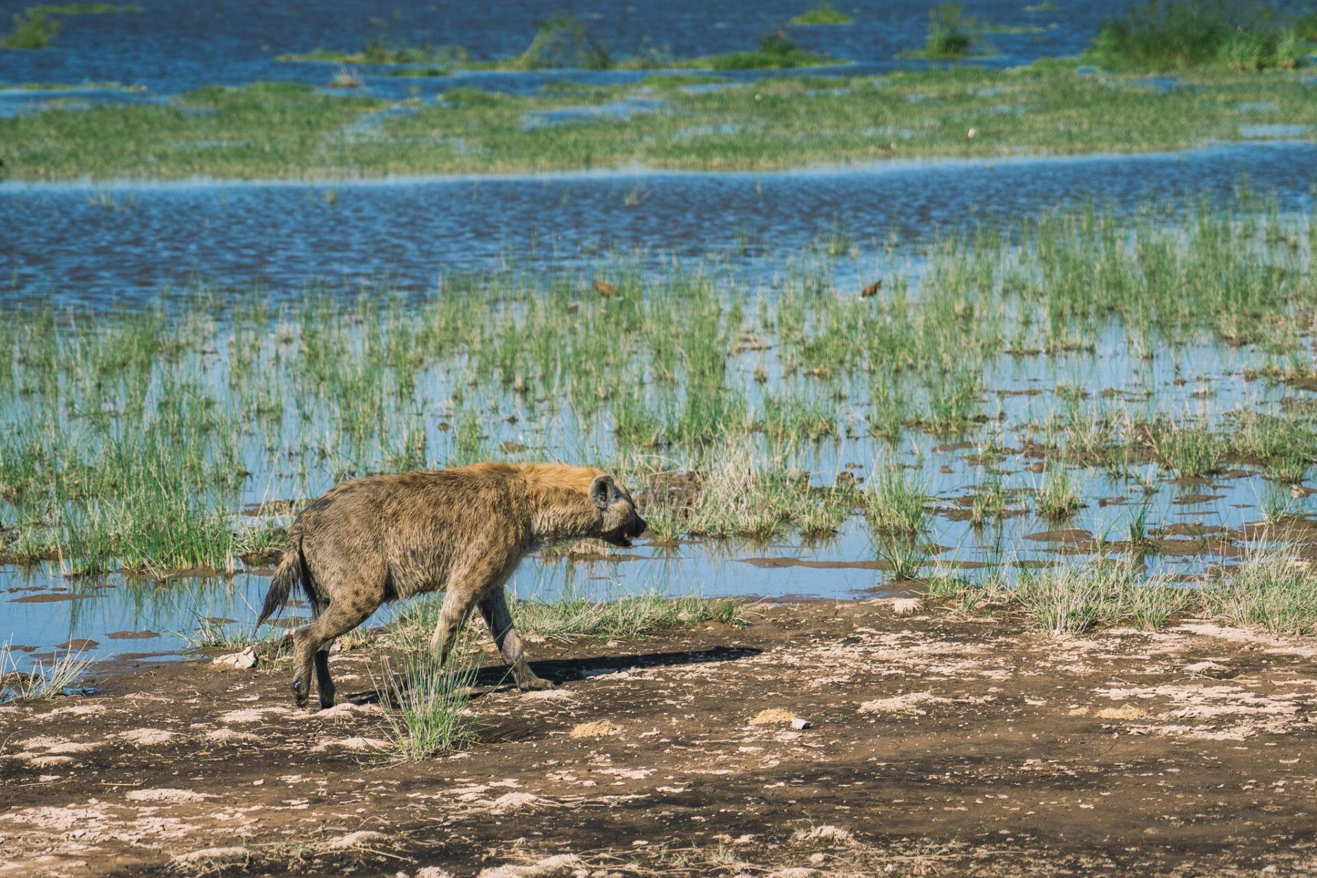parc-amboseli-kenya-hyene-safari